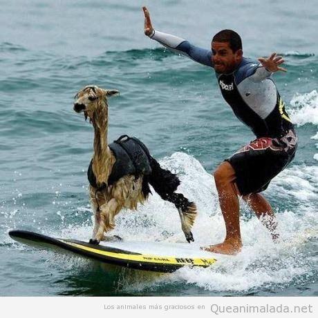 Foto graciosa de llama o alpaca haciendo surf