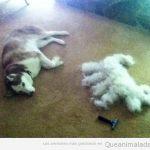 Cosas que pasan cuando le cortas el pelo a un husky...