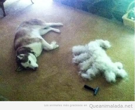 Foto graciosa del resultado de cortarle el pelo a un husky
