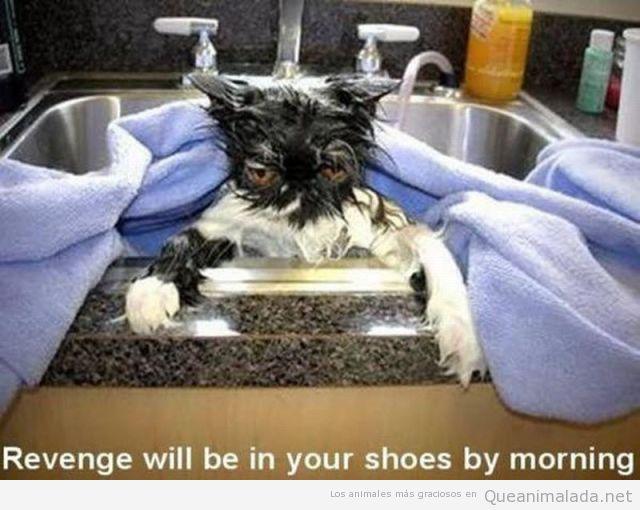 Gato enfadado y mojado después de un baño
