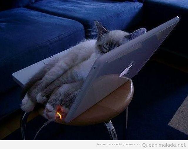A los gatos también les gustan los Macs