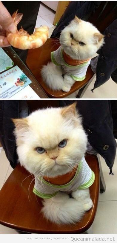 Gato gracioso con cara de enfado porque no le dan un langostino
