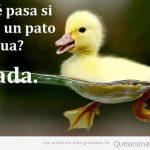 Qué pasa si tiras un pato al agua?