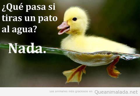 Pato gracioso nadando en el agua