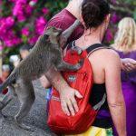 Monos capullines que trollean a turistas…