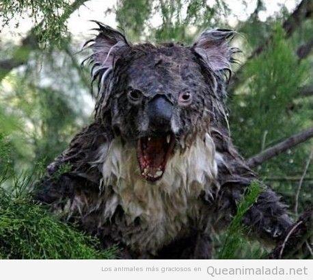 Nunca mojes a un koala
