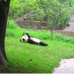 Simplemente un panda mirando a las nubes...