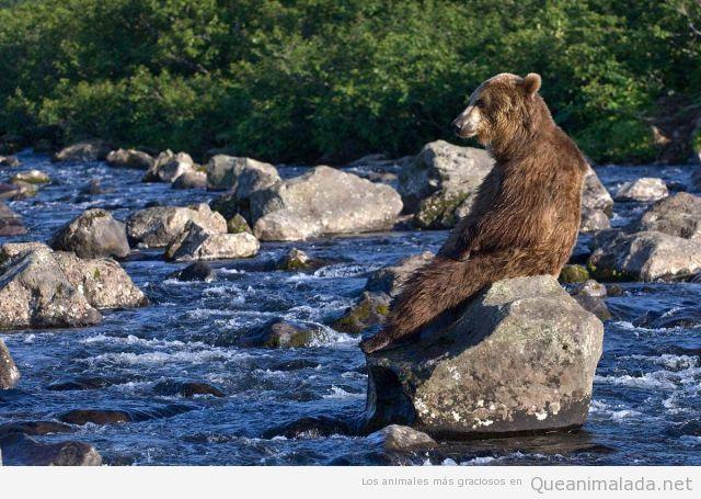 Oso pardo descansando en una roca del rio