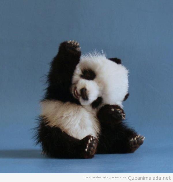Foto de un bebé panda saludando de forma graciosa