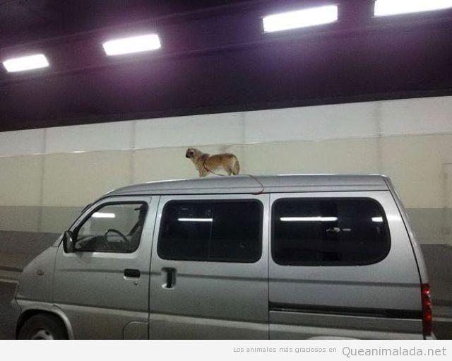 Así le gusta ir en la furgo a mi perro…