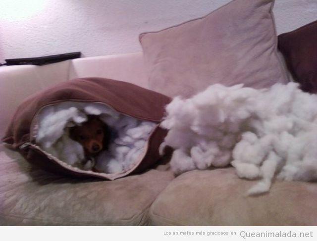 Perro gracioso ha roto un cojín y se ha metido dentro