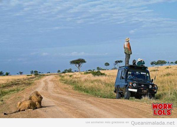 León esperando detrás de un coche de safari en la selva