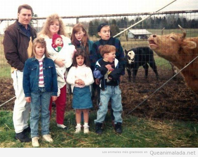Vaca jode la foto de una familia