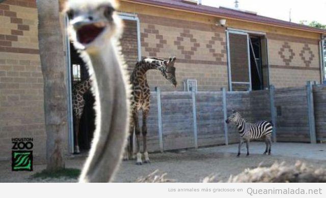 Avestruz jode la foto de jirafa y cebra