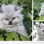 El gato del campo de sandías