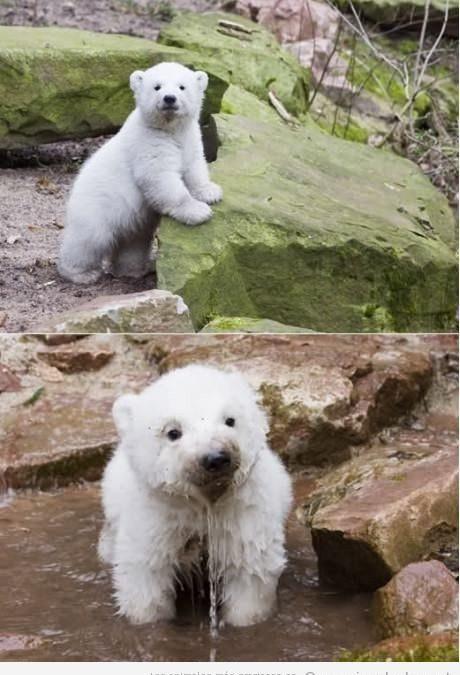 Cría de oso polar mojándose en una cascada