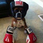 Boxer, literalmente