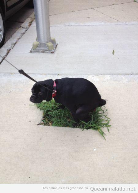 Foto graciosa de un perro haciendo caca e el único hueco con hierba