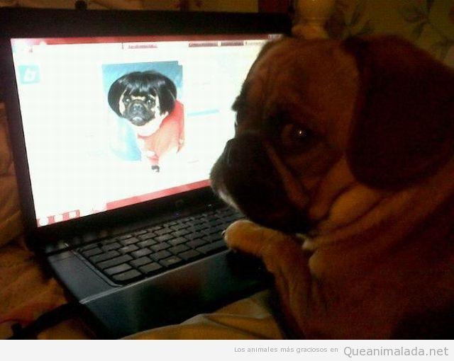 Perro pug gracioso buscando novia por Internet