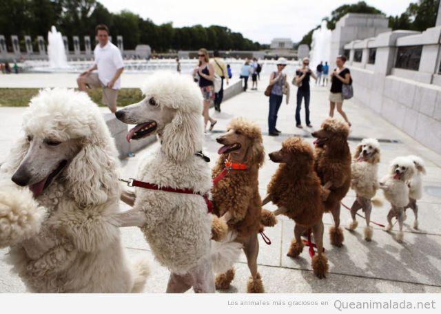 Foto divertida de un grupo de perros pooodles bailando la conga