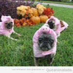 Pug or Pig?