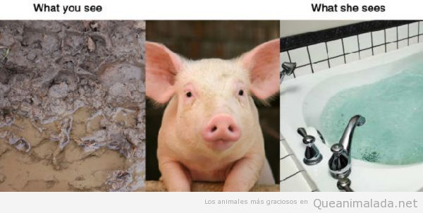 Realidad humana versus animal, un barrizal para un cerdo es una piscina