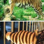 Mira cuánto me parezco a un tigre!