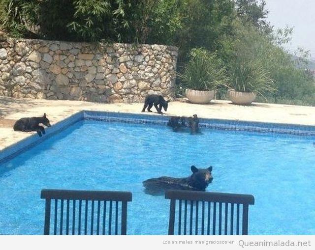 Osos entran en una piscina de una casa privada