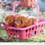 La foto ñoña del día: dos cerditos en una cesta
