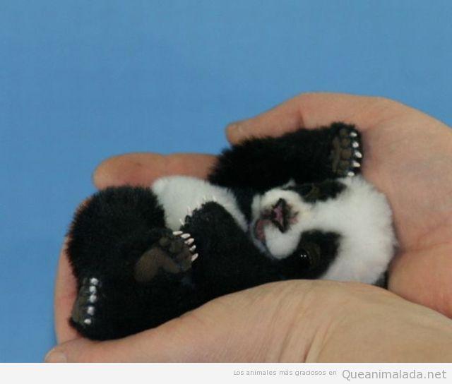 La foto super tierna del día: panda bebé