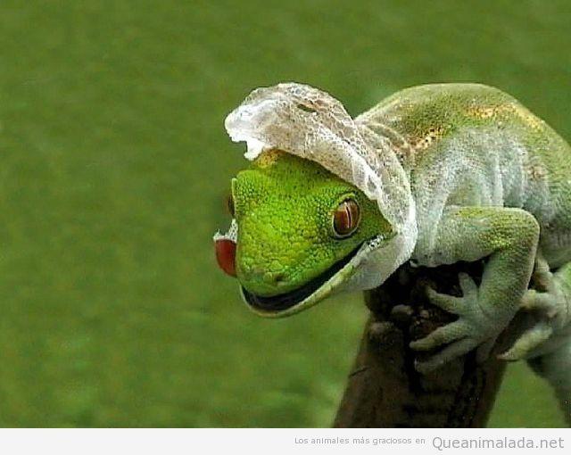 Foto curiosa de un camaleón saliendo de la piel que acaba de cambiar