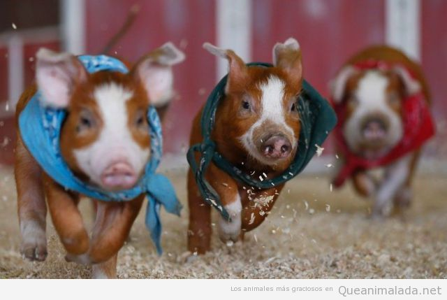 Foto graciosa de carrera de cerdos bebé