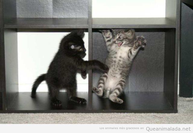 Foto graciosa y tierna de dos gatos pequeños jugando en una estantería