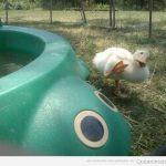 Cuidao, Pato!