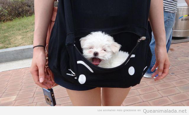 Foto tierna y bonita de un cachorro de bichón maltés metido en un bolsillo