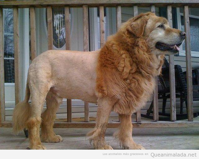 Foto curiosa de un perro con un peinado que parece un león