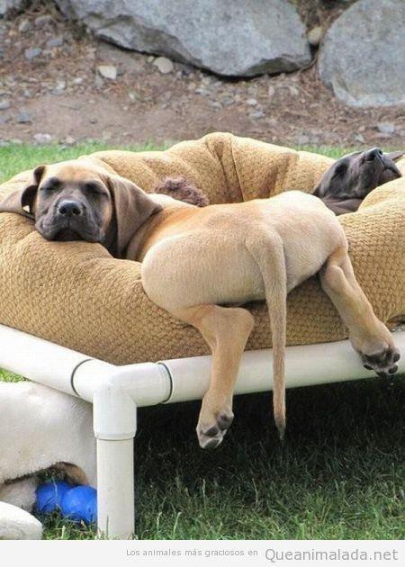 Foto divertida de un perro tumbado en su cama con el culo fuera