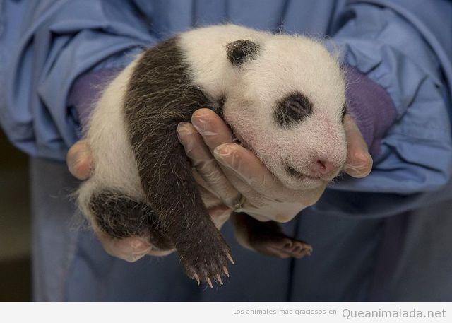 La foto tierna del día: panda recién nacido