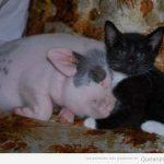 La foto tierna del día: cerdito y gato