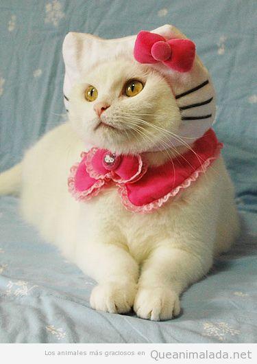 Gato disfrazado de Hello Kitty en Halloween