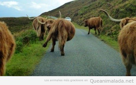 Foto divertida de un grupo de búfalos que parecen borrachos