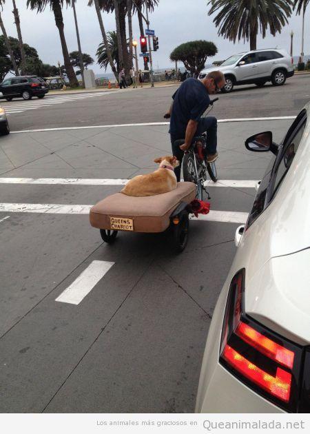 Imagen graciosa de una perra paseando en un carrito tirado por una bicicleta