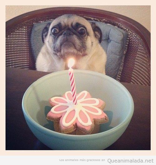 Soy un pug y me asustan las las velas de cumpleaños