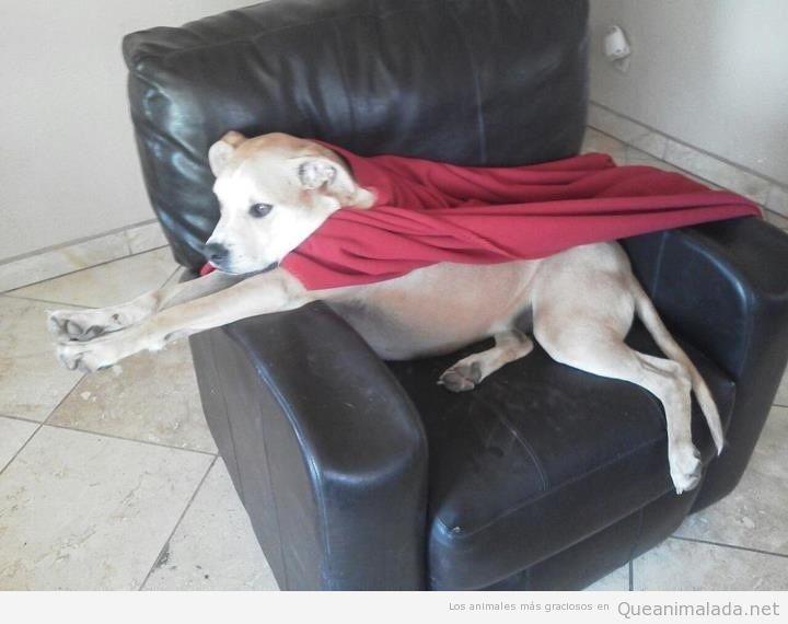 Perro gracioso capa superman