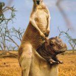 Un canguro superduro
