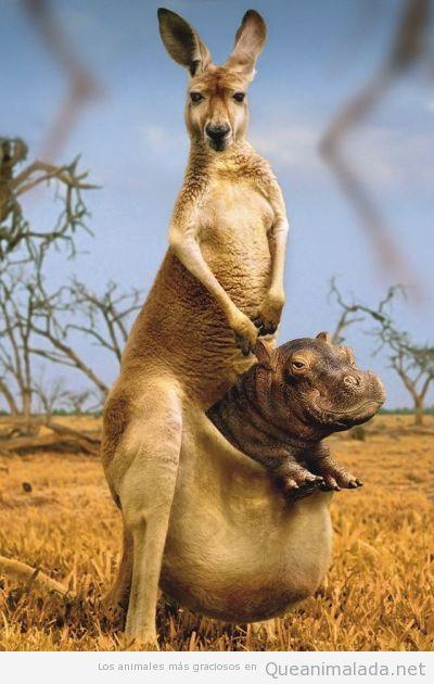 Foto curiosa y graciosa de un canguro con hipopotamo bebé en su bolsa