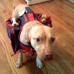 Imagen tierna del día: la mejor manera de llevar a tus cachorros encima