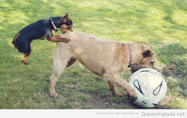 Imagen divertida de un erro pequeño y perro grande jugando fútbol