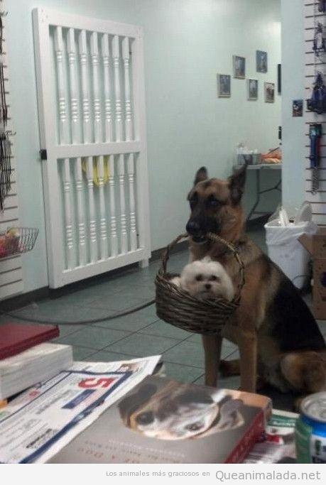 Foto bonita y tierna de un pastor alemán con un perro pequeño en una cestita