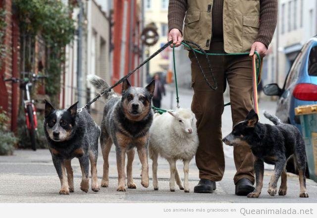 Imagen graciosa de tres perros y una oveja paseando por la ciudad
